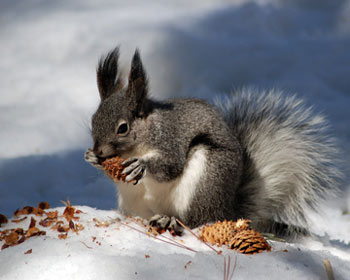 Abert's Squirrel eating a ponderosa pine cone