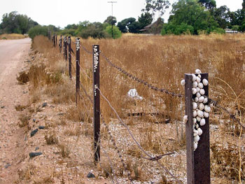 Snails aestivating at the top of fence posts in Kadina, South Australia