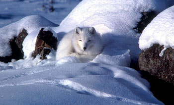 Arctic Fox with its winter coat