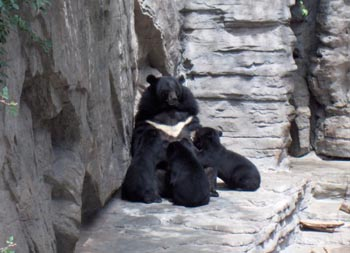 Asiatic Black Bear with Cubs