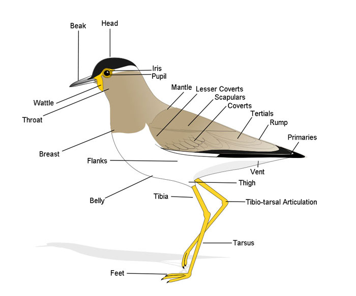 Anatomy of a Bird