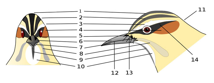 Markings on a Bird's Head