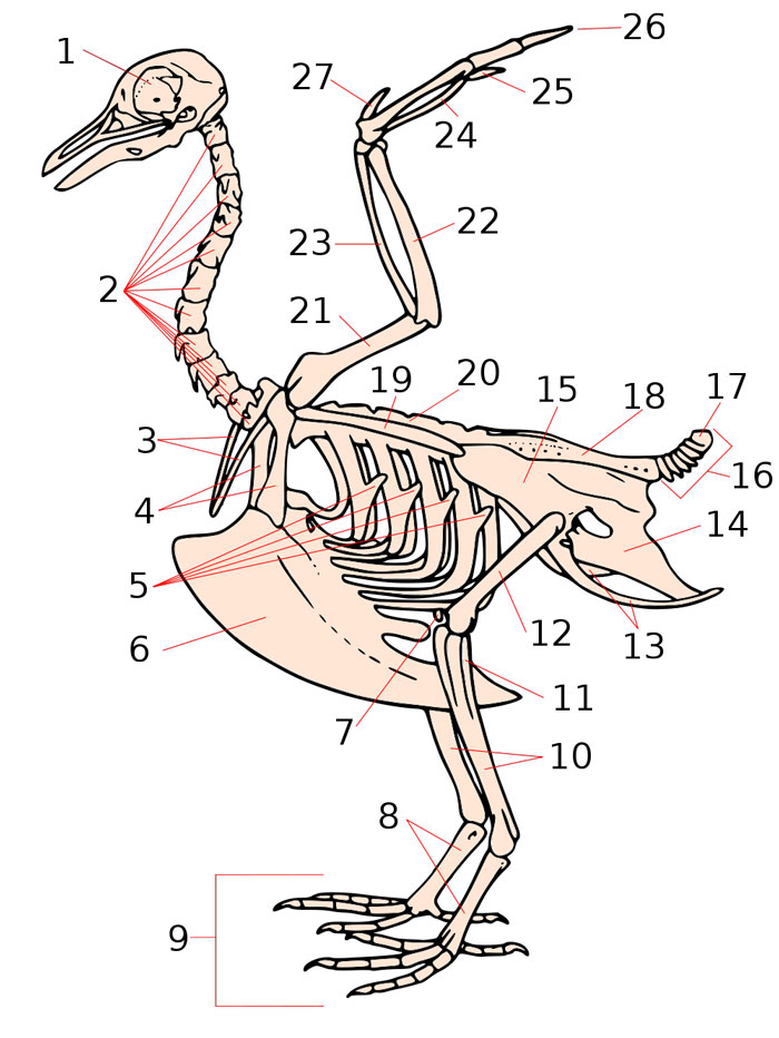 Stylised Skeleton of a Bird