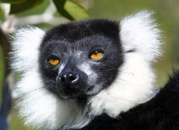 Close up of a Black & White Ruffed Lemur's face