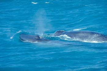 Blue Whale with a Calf