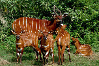 A Bongo and four Calves