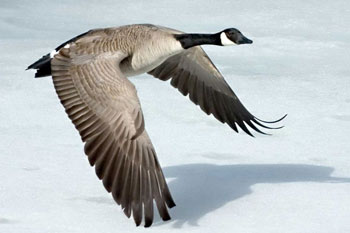 The Canada Goose has been introduced into Europe