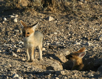 Young Cape Foxes