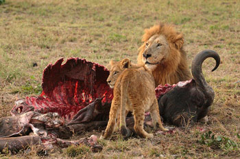 Lions are carnivores