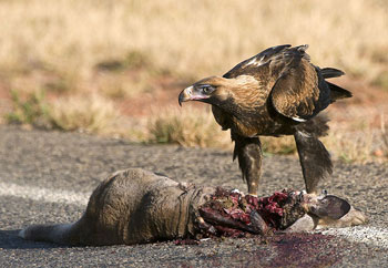 A Wedge-Tailed Eagle eating Carrion
