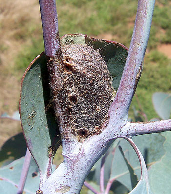 The Cocoon of an Emperor Gum Moth