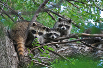 Common Raccoons