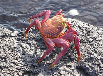 Crabs are Deposit Feeders