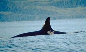 The Dorsal Fin of a Killer Whale