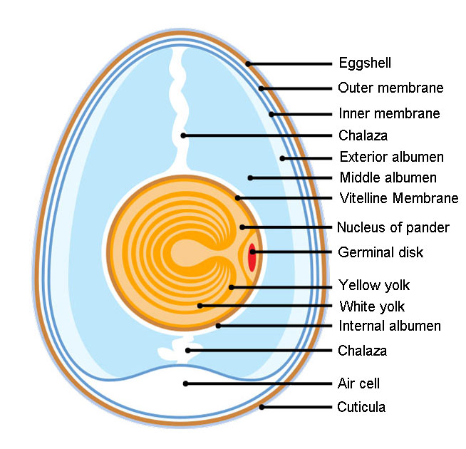 Anatomy of an Amiotic Egg
