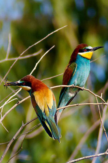 A pair of European Bee-Eaters