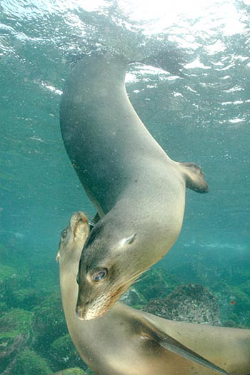 Juvenile Galapagos Sea Lions Under Water