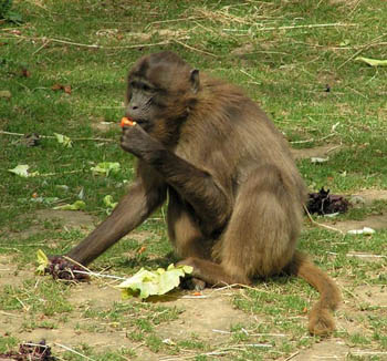 Female Gelada