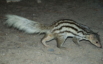 Giant-Striped Mongoose