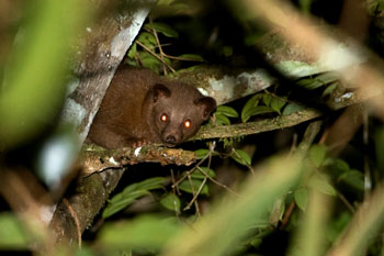 Golden Palm Civet