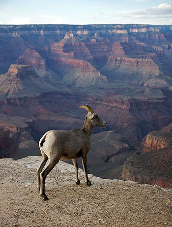 A bighorn sheep overlooking the grand canyon