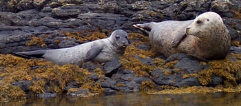 Grey Seal and her Pup