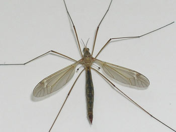 A Crane Fly with a pair of Halteres visible below the wings.