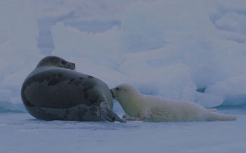 Harp Seal and her Pup