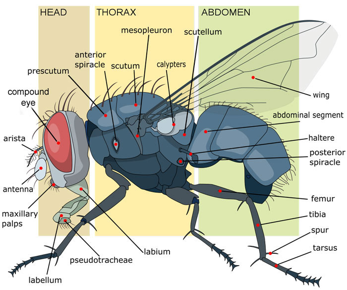 Anatomy of a Housefly