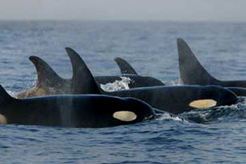 Resident Killer Whales (Orcas)