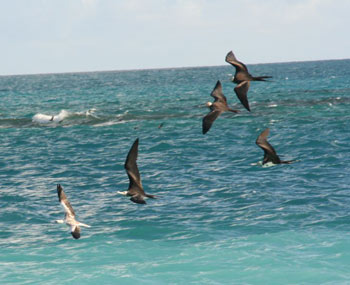 Great Frigatebirds Chasing a Red-Footed Booby in order to Steal its Food
