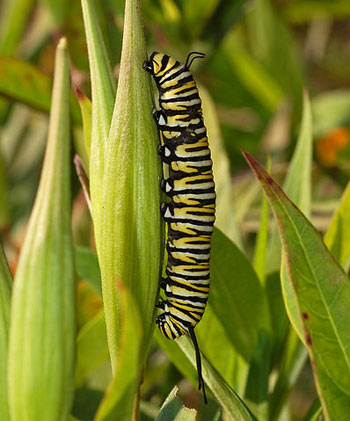 The Larva of a Monarch Butterfly