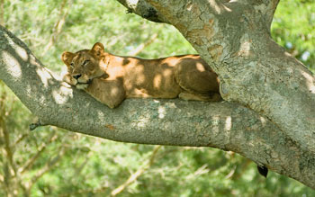 Lioness resting in a tree