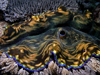 The brightly coloured Mantle on this Giant Clam protects it from sunlight.