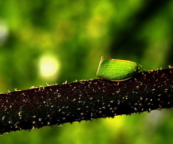 A Planthopper Mimics a Leaf