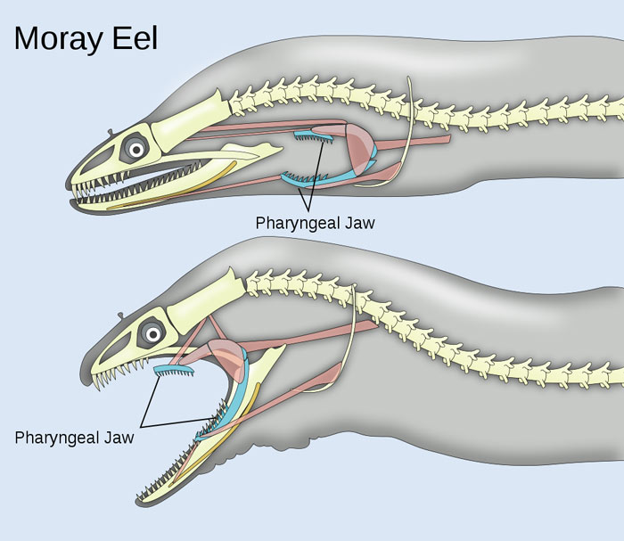 Pharyngeal Jaws of a Moray Eel
