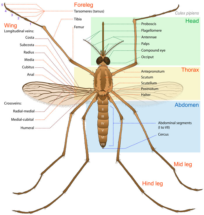 Anatomy of a Mosquito