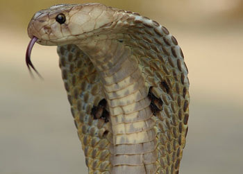 The venom of an Indian Cobra contains Neurotoxins