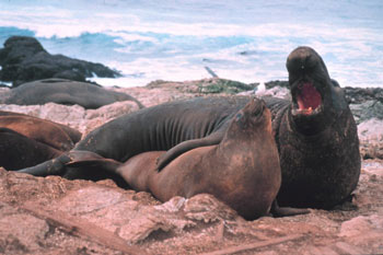 Male & Female Northern Elephant Seals