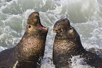 Male Northern Elephant Seals