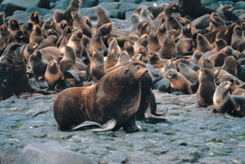 Northern Fur Seal Male and his Harem
