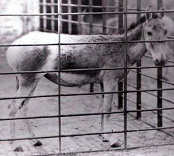 Syrian Wild Ass at London Zoo, 1872. They are now Extinct
