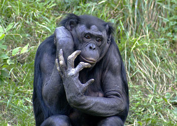 The opposable thumb of a Bonobo