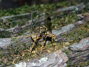 Female ichneumon wasp laying eggs with her Ovipositor
