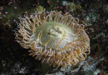 A Sea Anemone displaying radial symmetry