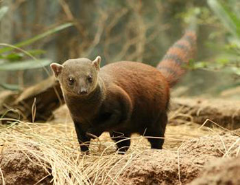Ring-Tailed Mongoose