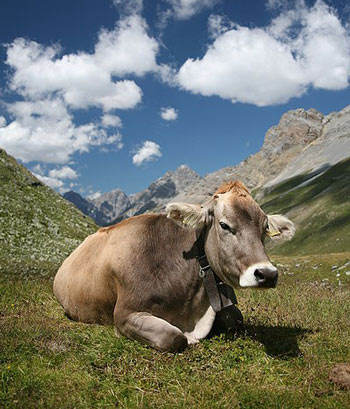 A Cow is an example of a Ruminant