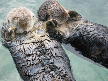 Sea Otters asleep holding paws