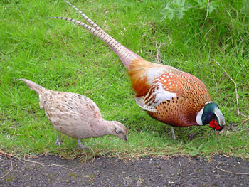 Female (left) and Male Common Pheasant showing sexual dimorphism.