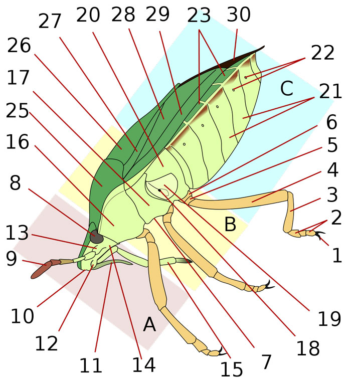 Anatomy of a Shield Bug (Lateral)